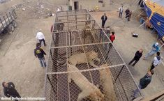 33 Circus lions rescued in South America will be airlifted home to South Africa [pictures] The circus is no place for these majestic creatures. Luckily they have been rescued and will be sent home to retire under the sunny African skies. http://www.thesouthafrican.com/33-circus-lions-rescued-in-south-america-will-be-airlifted-home-to-south-africa-pictures/