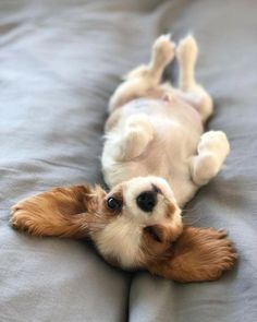 Are you looking for the best Cavalier King Charles Spaniel dog names? King Charles Puppy, Cavalier King Charles Dog, Cavalier King Spaniel, Dog Sleeping Positions, Sleeping Dogs, Cute Baby Dogs, Cute Dogs And Puppies, Doggies, Dog Baby