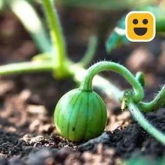 Vegetable Garden For Beginners, Backyard Vegetable Gardens, Container Gardening Vegetables, Veg Garden, Vegetable Garden Design, Edible Garden, Growing Plants, Growing Vegetables, Plants For Raised Beds