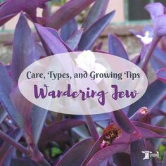 Not sure how to grow wandering jew? Let me help you to Growing Wandering Jew Plants Indoors & Outdoor - Care and Growing Tips. All your question answered.