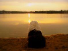 Old english sheepdog sunset free wallpaper