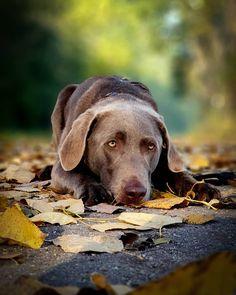 #puppy #goldenretrieverlove #dogsofinstagram #dogs #pets #goldenretrieversworld #Golden #Retriever #welovegoldens #goldens #goldenretrievers_ #goldenretriever #goldenretrievers #goldenretrieverpuppy #animals #goldenretrieversofinstagram Labrador Retriever, Puppies, Pets, Instagram, Animales, Labrador Retrievers, Cubs, Labrador, Pup