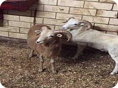 Act quickly to adopt A699711. Pets at this Shelter may be held for only a short time. Austin, TX - Sheep. Meet A699710 & 11  pets for adoption. http://www.adoptapet.com/pet/12757584-austin-texas-sheep