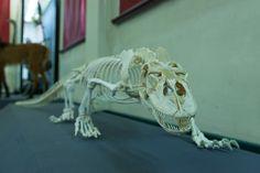 Skelett Komodowaran | by helmutfaugel