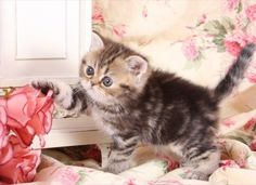 Persian Tabby Cats | Welcome to SEARCHPP.COM