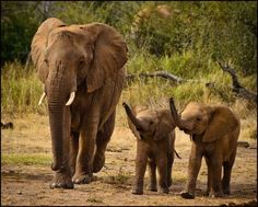 Twinsies! Baby elephant twins ~ very rare indeed. Elephants live in a family unit. They mourn the lose of loved ones just like human BEINGS mourn & love the way we do too!
