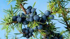 Plody jalovce používáme jako koření i léčivý prostředek. Když sníme víc jídla, než sneseme, a rozžvýkáme důkladně jalovcovou kuličku, během chvíle si ulevíme a jídlo slehne, protože podpoříme tvorbu žluči a trávení. Korn, Blueberry, Fruit, Berry, Blueberries
