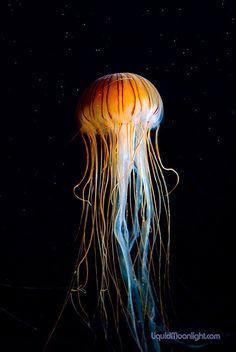 Monterey Bay Aquarium - Red Jellyfish