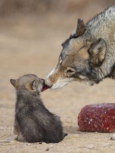 Mama wolf and pup. A loving kiss. Wolf Pictures, Animal Pictures, Cute Baby Animals, Animals And Pets, Strange Animals, Beautiful Creatures, Animals Beautiful, Feral Heart, Wolf Pup