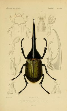 Cuvier Day Coleoptera.  Cuvier loved natural history from an early age. By twelve years of age, hed largely committed Buffons massive Natural History compilation to memory.