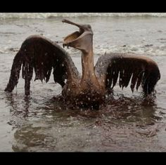 ~ Brown Pelican after the Exxon Valdez oil spill.