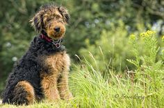I love airedales!! We have had 3 while I was growing up!! I want another for my Lilly