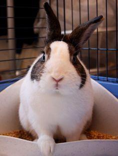 [AAE Cerco casa] Paul, invenduto è stato ceduto da un negozio. Per adottarlo scrivete a info@aaeconigli.it  #animali #conigli