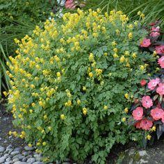 Corydalis lutea Yellow Corydalis- flowers most of the summer- from cindy Spruce Tree, Dry Creek, Woodland Garden, Backyard, Patio, Shade Plants, Fresh Green, Gold Flowers, Shade Garden