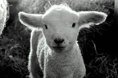 """lamb """"A young lamb stares down the camera at Wolfe's Neck Farm in Freeport."""" — Submitted by Lesh709  Tag @downeastmagazine with your #Mainelife pics."""