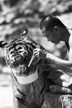 Tiger and man eating together. Source: http://v-erum.tumblr.com/post/49703156581