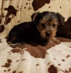 Puppies for Sale Yorkies For Sale, Puppies For Sale, Yorkshire Terrier Puppies, Dogs, Cute, Animals, Beautiful, Animales, Animaux