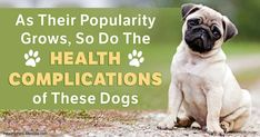 Brachycephalic dog breeds - these much-loved pets are more popular than ever, yet they're being abandoned at shelters in alarming numbers. http://healthypets.mercola.com/sites/healthypets/archive/2017/02/22/british-vets-urge-people-not-to-buy-brachycephalic-dogs.aspx