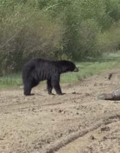 Black Bear Hunting in Alberta Can Be Just a Little Nerve-Racking Bear Hunting, Hunting Tips, Black Bear, Brown Bear, Dove Recipes, Game Birds, Cooking, Pictures, Animals