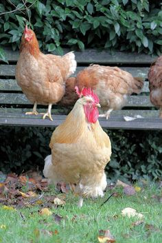 chickens in the garden- I happen to have a insane love for chickens- I have catalogs of the ones I want ! But never eat :)
