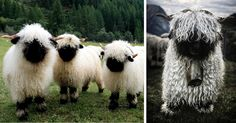 People Can't Agree Whether These Sheep Are Cute Or Terrifying www.sta.cr/2Bw75 #adorbs #ornah #sheep
