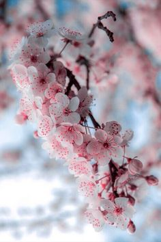cherry blossoms...blooming here now, too soon, too early...