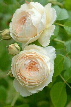 Rosas Honeysweet