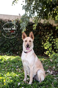 Hello, my name is Aria and I am approximately 2yrs old Lab/Shepherd mix (2.10.14).   I am a very sweet gal.  I came from a very large family, as I gave birth to eleven puppies. We are so fortunate to have been saved by ICARE Dog Rescue. Everyone tells me how sweet I am and how beautiful I am. I love to follow humans around and stay very close to them. Contact: adopt@icaredogrescue.org #howtoadoptachild