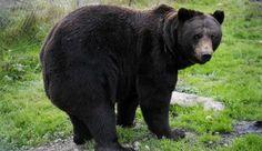 Etusivu | Aamulehti Black Bear, Animals, Animales, American Black Bear, Animaux, Animal, Animais
