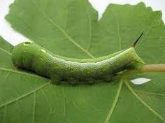 Oruga verde de la Esfinge de la Parra