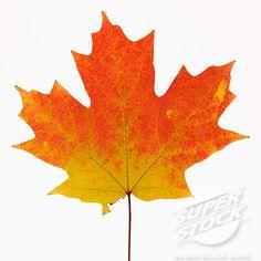 sugar maple leaf tattoo - Google Search