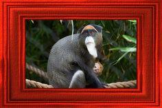 Debrazzas Monkey