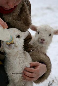 Bottle feeding little lambs