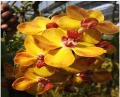 hybrid orchid cross between rhynchostylis and vanda