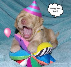 Happy New Year from Olympic Labradoodles!!!    Melina x Walker 2 weeks old.  www.olympiclabradoodles.com