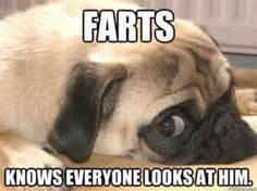 Pug Memes - Yahoo Image Search Results