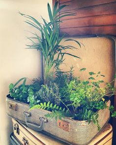 ☆BY INDY☆  instagram: indy_13_    #indoorgarden #basil  #thyme #oregano #rosemary #parsley #herbs #plants #urbangarden #urbangardening #vintage #suitcase #getcreative #sowing #growing #indoor #mini #garden #kruiden #koffer #green #nature #naturelovers #december #organic