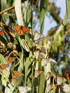 Every year monarch butterflies migrate to Pismo Beach to feed on milkweed and nest in eucalyptus trees.