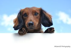 Red Long-Haired Dachshund Above a Blank Sign - Red Miniature Long-Haired Dachshund Above a Blank Sign