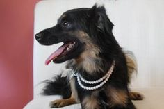 Posted 8-29-12  Conroe, TX animal shelter, dog available for adoption  My name is Cinder and I am a small female Shepherd/Sheltie mix who loves to accesorize.  I just feel naked without my pearls. I am an ready to comment to the perfect relationship.   I am looking to be part of a family that has time for walks or a fenced in yard. I love to watch TV but also enjoy a good book. I am not to picking when it comes to food but I do my best to stay away from junk food.