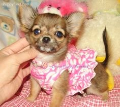 Chihuahua )