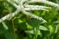 Beetle on a flower. Beetle, Dandelion, Create, Flowers, Plants, Photography, June Bug, Photograph, Beetles