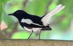 Penjelasan Burung Kacer, Jenis, Harga, dan Suara Kicauannya