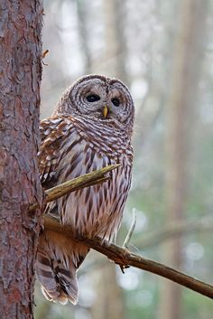 Barred Owl.  I've heard many a Barred Owl call here in Northern Virginia.  I love the sound.