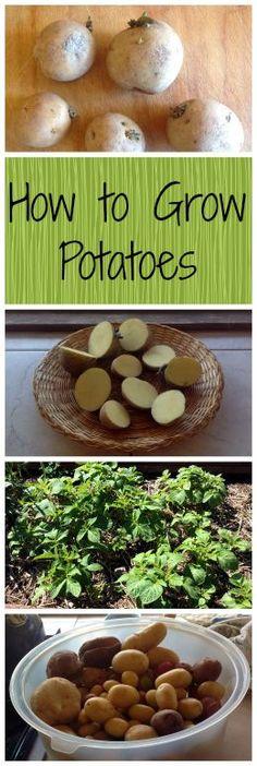 How to Grow Potatoes ~ Homegrown spuds are the best! www.growforagecookferment.com: http://www.growforagecookferment.comhow-to-grow-potatoes/?utm_content=buffer405e6&utm_medium=social&utm_source=pinterest.com&utm_campaign=buffer:
