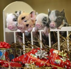 piglets... I've always wanted a pig and no Man would ever let me one. I think we shall get a potbelly now.
