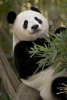 Bai Yun, Panda!