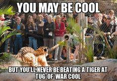 Tiger at tug a war