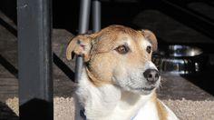 Chester Jack Russell x Fox Terrier | Pawshake