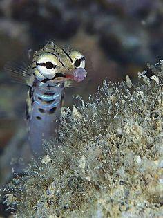 Dagon face pipe fish